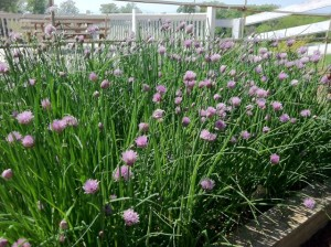 so many chive blossoms